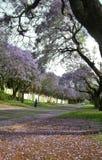 Romantic road with blooming purple Jacaranda flowers. Jacaranda trees  in Brooklyn, Pretoria, South Africa Royalty Free Stock Images