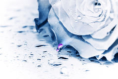 Romantic rose. A rose in blue monocolor tonality  with romantic contrasting pink drops of water on a petal Royalty Free Stock Image