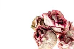 Romantic rose Stock Photos