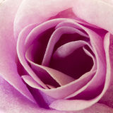 Romantic rose. Representing love and passion Royalty Free Stock Image