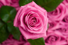 Romantic rose. Pink rose with drops of water over other roses and leaves Royalty Free Stock Photos