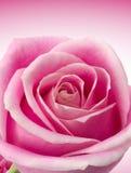 Romantic Rose Stock Images