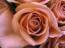 Romantic Rose. Closeup of a beautiful rose royalty free stock photo