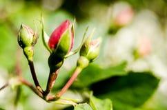 Romantic Rose Stock Image