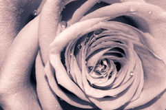 Romantic rose. Rose with drops of water in old vintage colors Stock Images