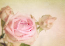 Romantic rose. Texture conceptual image. Royalty Free Stock Photography