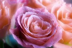 Romantic roses Stock Images