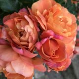 Romantic Roses. Romantic bouquet of peachy pink roses Stock Photo