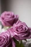 Romantic roses Royalty Free Stock Photography