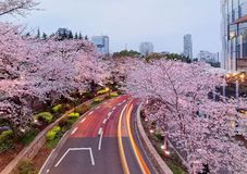 Romantic scenery of illuminated cherry blossom trees Sakura namiki in Tokyo Midtown. Roppongi at dusk, with light trails of cars on street & high rise royalty free stock images