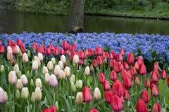 Romantic scenery with pink tulips stock photo