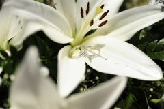Romantic setup with wedding rings set on large white lily. Horizontal close-up shot of silver, white wedding bands positioned on bright, large white lily in royalty free stock photo