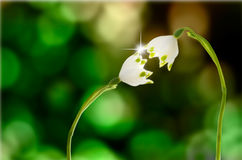 Romantic snowdrops kiss Stock Image