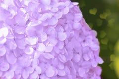Romantic, soft and beautiful pattern pink hydrangea flowers background, selective focus. Closeup.  stock photo