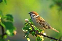 Romantic sparrow. Tree sparrow sitting on the branch of blooming apple tree royalty free stock photos