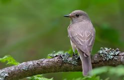Romantic Spotted Flycatcher posing on old lichen stick backview royalty free stock photos