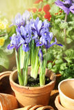 Beautiful spring flowers in rustic terracotta pots Stock Photo