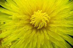 Romantic spring flower yellow dandelion in macro style stock photography