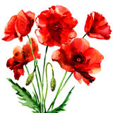 Romantic summer red poppy flower isolated, watercolor illustration on white Stock Photos