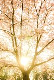 Romantic sunrise witrh spring cherry tree Stock Photography