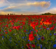 Romantic sunset over a poppy meadow Royalty Free Stock Photo