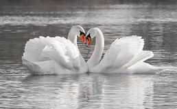 Romantic swan couple Stock Image