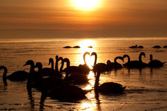 Romantic swans. Romantic couple of the beautiful swans at sunset. Two swans form the heart in the middle of the picture Stock Photography