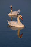 Romantic swans Royalty Free Stock Photos