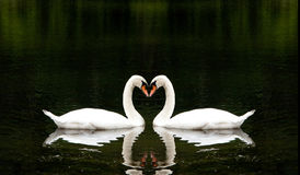 Romantic Swans Stock Image