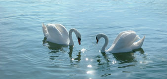 Romantic swans couple. Beautiful birds swimming in a lake stock photos