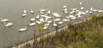 Romantic swans on the river Royalty Free Stock Images