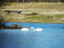 Romantic swans swimming in the lake Stock Photo