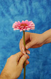 Romantic touch. A loving touch of female and male hands with romantic pink Gerber Daisy royalty free stock photos