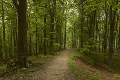 Romantic trail in misty forest. Dark scary forest like a fairy tale Royalty Free Stock Photography
