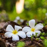 Romantic tropical flowers, white plumeria flowers in square format. Closeup tropical nature landscape. Colorful meadow under sunlight with plumeria - frangipani Royalty Free Stock Photography