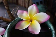 romantic tropical fragrant flower frangipani or plumeria Stock Photos