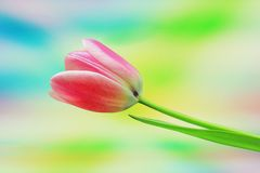 Romantic tulip flower Royalty Free Stock Photography