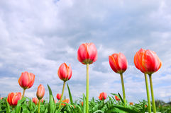 Romantic tulips growing in the field. Romantic tulips in the perfect green field Royalty Free Stock Image