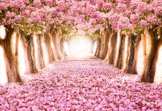 The romantic tunnel of pink flower trees. Falling petal over the romantic tunnel of pink flower trees / Romantic Blossom tree over nature background in Spring Stock Photography