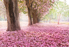 The romantic tunnel of pink flower trees. Falling petal over the romantic tunnel of pink flower trees / Romantic Blossom tree over nature background in Spring royalty free stock photos