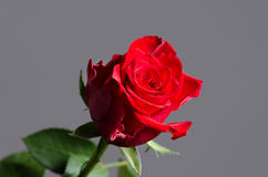 Romantic valentine red rose on isolated gray background. Royalty Free Stock Photography