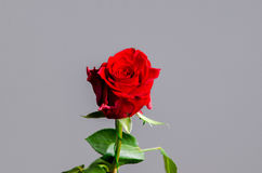 Romantic valentine red rose on isolated gray background. Stock Photo