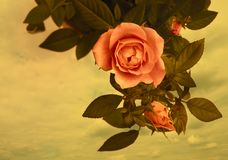 Romantic vintage roses background Royalty Free Stock Image