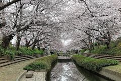 Romantic walkways under the archway of pink cherry tree blossoms  Sakura Namiki  along a small river bank Royalty Free Stock Image