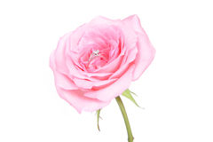 Romantic wedding rings on pink rose flower Royalty Free Stock Images