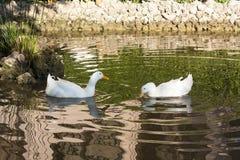 Romantic white ducks couple bird swimming in the lake photo Royalty Free Stock Photos
