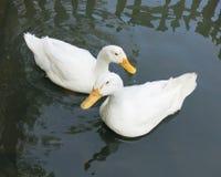 Romantic white ducks couple. Close up to Romantic white ducks couple Stock Image