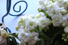 Romantic white little flowers. At home royalty free stock photos