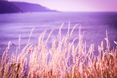 Romantic wild grass in the wind at the seaside. In purple colours Royalty Free Stock Photo