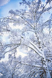 Romantic winter. Tree covered with snow in winter day Royalty Free Stock Photo